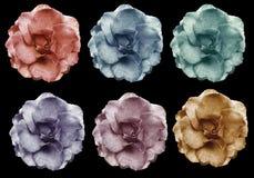 As rosas violetas cor-de-rosa amarelas azuis vermelhas ajustadas florescem, enegrecem o fundo isolado com trajeto de grampeamento Imagem de Stock