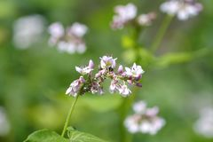 Flower of Buckwheat, Fagopyrum esculentum, Bavaria, Germany, Europe stock images
