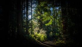 As rupturas do sol através dos pinheiros Fotos de Stock