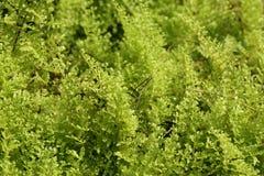As samambaias bonitas saem folha verde do fundo floral natural da samambaia Foto de Stock Royalty Free