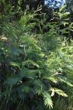 As samambaias, originalmente nativo de China, sobre milhões dos anos de nativos agora de Califórnia, 2 fotografia de stock