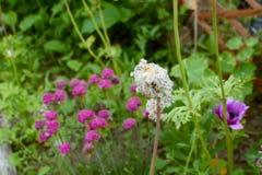 As sementes brancas macias começam a cair da flor da anêmona Fotografia de Stock