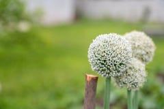 As sementes da cebola estão florescendo, cultivo em próprio campo, close up dos perennials imagem de stock