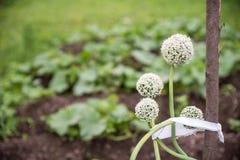 As sementes da cebola são flor no campo, perennials imagens de stock