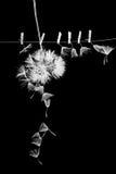 As sementes do dente-de-leão com as pinças pequenas, de madeira da lavanderia e diluem o fio metálico Fotografia de Stock Royalty Free