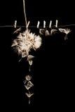As sementes do dente-de-leão com as pinças pequenas, de madeira da lavanderia e diluem o fio metálico Imagens de Stock Royalty Free