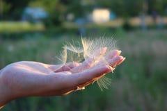 As sementes do dente-de-leão encontram-se na palma de sua mão fotos de stock royalty free