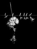 As sementes do dente-de-leão com as pinças pequenas, de madeira da lavanderia e diluem o fio metálico Imagem de Stock