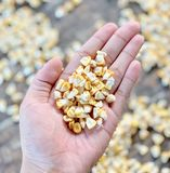 As sementes do milho estão na palma fotos de stock royalty free