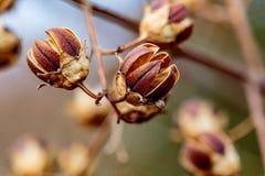 As sementes macro do hibiscus secaram no fim do inverno imagens de stock
