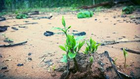 As sementes novas crescem do solo Fotografia de Stock Royalty Free