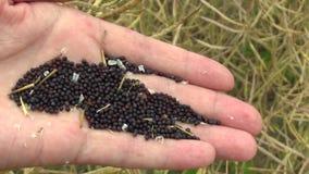 As sementes oleaginosas maduras do napus do Brassica do óleo de colza à disposição, resíduos amadurecem vagens da semente vídeos de arquivo