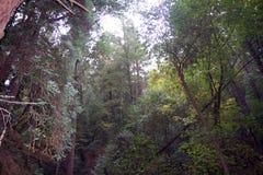 As sequoias vermelhas de Armstrong indicam a reserva natural, Califórnia, Estados Unidos - para preservar 805 acres 326 ha da seq Imagens de Stock