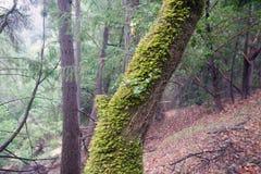 As sequoias vermelhas de Armstrong indicam a reserva natural, Califórnia, Estados Unidos - para preservar 805 acres 326 ha da seq Imagens de Stock Royalty Free