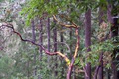 As sequoias vermelhas de Armstrong indicam a reserva natural, Califórnia, Estados Unidos - para preservar 805 acres 326 ha da seq Fotos de Stock