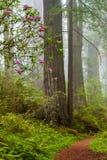 As sequoias vermelhas e os rododendros ao longo da angra da perdição arrastam no De Fotografia de Stock