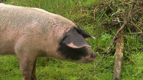 A spotted pig eating an apple. As shot of a spotted pig as it chews down a red ripe apple stock video footage