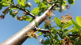 as sobras de um ramo da flor da cereja Imagem de Stock