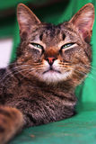 As sphinx. Cat portrait closeup royalty free stock image