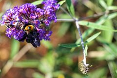 Bee covets pollen Stock Photography
