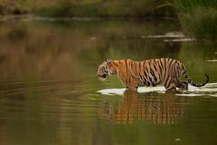 Tiger in Pond. As the summer get scorching hot, wild animals approach water bodies and stay in close proximity to get them relied from the summer heat. In this stock photo