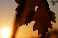 Autumn sunset in the vineyard. As the sun is setting on the horizon, a vine leaf in the shade waves in the light afternoon breeze stock photo