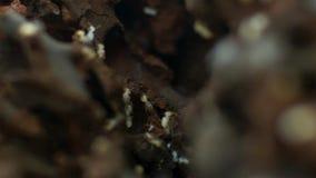 As térmitas do compasso dividem nutrientes inoperantes da grama e do extrato Austrália do norte imagens de stock