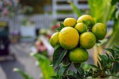 As tangerinas decorativas penduram em um ramo de árvore fotografia de stock royalty free