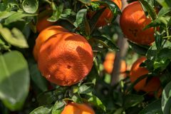 As tangerinas spangled a árvore imagem de stock royalty free
