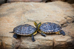 As tartarugas acoplam-se em uma pedra Imagem de Stock