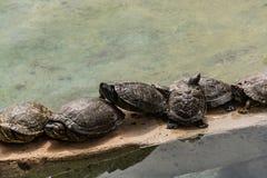 As tartarugas da água descansam e tomam sol no sol imagens de stock royalty free