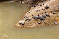 As tartarugas encontram-se em uma pedra perto da água Imagens de Stock Royalty Free