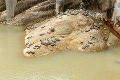 As tartarugas encontram-se em uma pedra perto da água Fotos de Stock