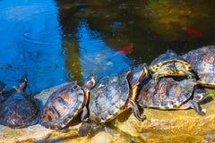 As tartarugas sentam-se na pedra no parque foto de stock