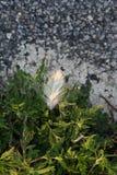 As terras delicadas de uma pena branca levemente em plantas verde-clara perto do asfalto rochoso como a luz solar da manhã ilumin fotografia de stock royalty free