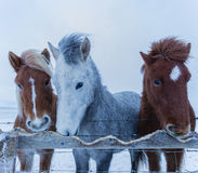 As três estarolas Islandeses que comem acima de sua cerca Fotografia de Stock Royalty Free