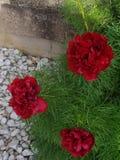 As três flores vermelhas imagens de stock royalty free