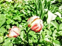 As tulipas imagem de stock