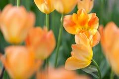 As tulipas alaranjadas Imagens de Stock Royalty Free