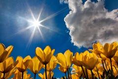 As tulipas amarelas do baixo ponto de vista e do sol star fotografia de stock