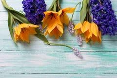 As tulipas amarelas e os jacintos azuis florescem na turquesa b de madeira Fotografia de Stock