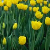 As tulipas amarelas florescem em um dia ensolarado no parque em um fundo das folhas verdes fotos de stock