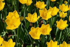 As tulipas amarelas florescem em um dia ensolarado no parque em um fundo das folhas verdes fotografia de stock