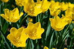 As tulipas amarelas florescem em um dia ensolarado no parque em um fundo das folhas verdes imagens de stock royalty free