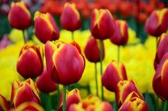 As tulipas amarelas vermelhas fecham-se acima do fundo no jardim da mola de Keukenhof de Países Baixos Fotos de Stock
