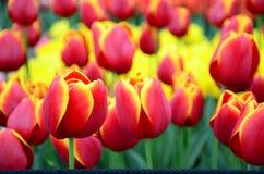As tulipas amarelas vermelhas fecham-se acima do fundo no jardim da mola de Keukenhof de Países Baixos Imagens de Stock