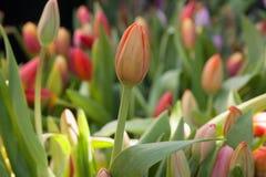 As tulipas antes da flor na exposição nos fazendeiros introduzem no mercado em março Imagens de Stock Royalty Free