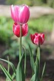 As tulipas as mais agradáveis imagem de stock royalty free