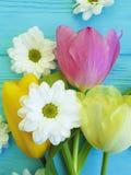 As tulipas bonitas da celebração do crisântemo temperam o dia de mães do cumprimento do fundo, em um fundo de madeira azul Imagem de Stock