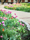 As tulipas bonitas na cidade estacionam, primavera Foto de Stock